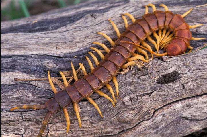 centipede on drift wood